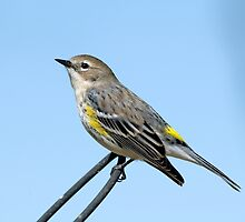 Yellow Rumped Warbler on Guard by Bonnie T.  Barry