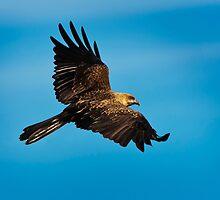 Whistling Kite revisited by Chris  Randall
