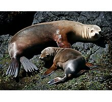 Californian Sea Lions Photographic Print