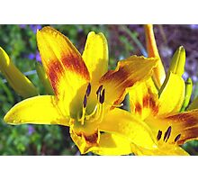 Raindrops on daylilies Photographic Print