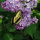 Alight on the Lilac by Amber Graham (grahamedia)