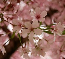 Spring Blossoms by Lisa Sarsfield