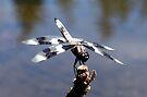 Zebra Dragonfly by Tori Snow