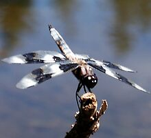 Zebra Dragonfly by Tori Snow
