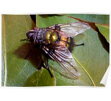 Big Blow Fly Poster