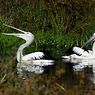 Australian Pelican (Pelecanus conspicillatus) 3 by Russell Mawson