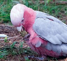 pink and grey galah -lunchtime. this photo was taken in Busselton. by shirleyscott