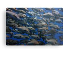 Snappers in shark yolanda reef  Metal Print