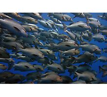 Snappers in shark yolanda reef  Photographic Print