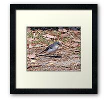 white breasted robin. Margaret River Framed Print