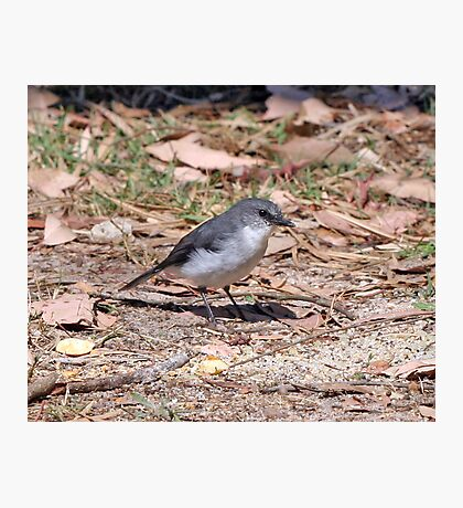 white breasted robin. Margaret River Photographic Print