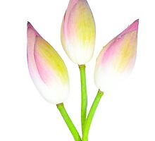 Three Lotus bud on white background by longtram