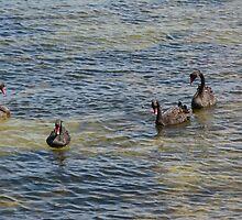 SWANS AT SEA by kazaroodie