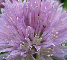 Chives!   by maxy