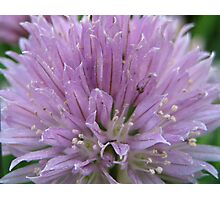 Chives!   Photographic Print