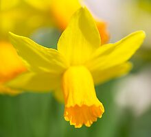 Narcissus  by Rob Hawkins