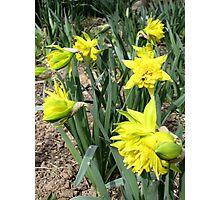Hello Spring with a Smile of Daffodils Photographic Print