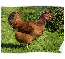 brown Rhode Island Red hen Poster