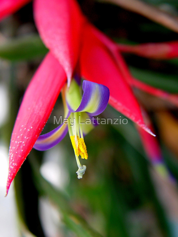 Bilbergia by May Lattanzio