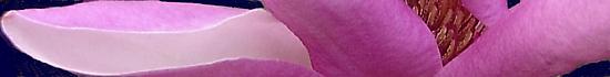 Magnolia by May Lattanzio