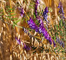 oats and Vicia flowers grow by Arletta Cwalina