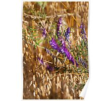 oats and Vicia flowers grow Poster