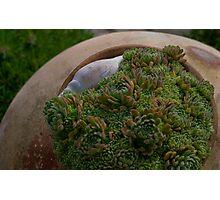 'Pot' plants... Photographic Print
