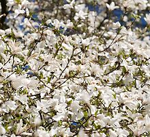 White Magnolia blooming bunch by Arletta Cwalina
