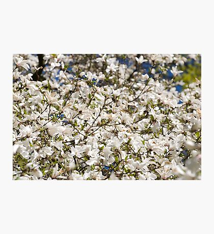 White Magnolia blooming bunch Photographic Print