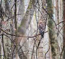 Red-shouldered Hawk – Congaree National Park, South Carolina by Jason Heritage
