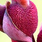 Canna Lily by Glenna Walker