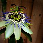 Blue Passion Flower by Elizarose