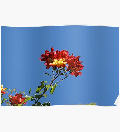 Bright red and yellow blooming flower  Poster