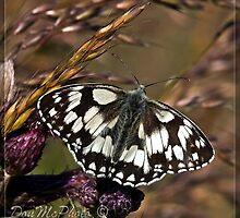 Marbled White (Melanargia galethea) (I) by DonMc