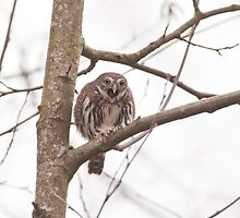 Northern Pygmy-Owl by j Kirk Photography                      Kirk Friederich