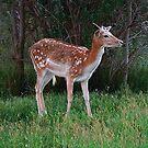 Mule Deer Fawn by ten2eight