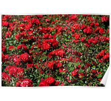 Red roses bunches grow Poster