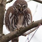 Northern Pygmy Owl by Kirk Photography                      Kirk Friederich