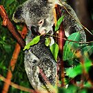 Koala Clinging by bygeorge