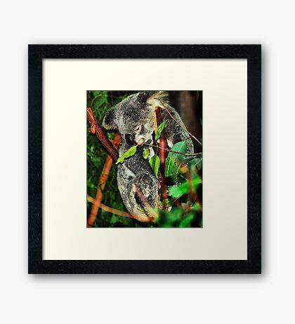 Koala Clinging Framed Print