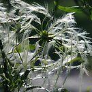 ~Clematis Seeds~ by Debra LINKEVICS