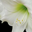 White Amaryllis by Nancy Polanski