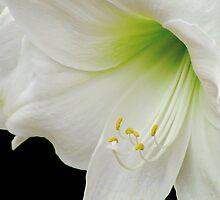 White Amaryllis by Nancy Polanski