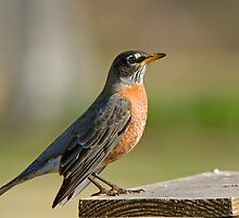 American Robin by Bonnie T.  Barry