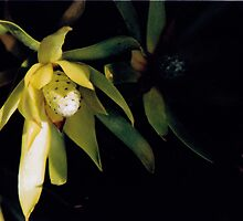 Leucodendron by almulcahy