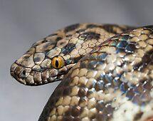 Spotted Python - Antaresia maculosa by Paul Davis