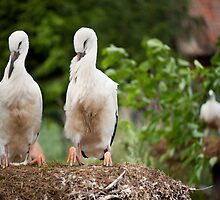Orphaned two White Storks by Arletta Cwalina