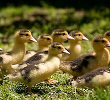 Yellow Muscovy duck ducklings by Arletta Cwalina