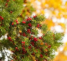 Yew red fruits bunch grow by Arletta Cwalina