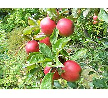 Juicy red Apples Photographic Print
